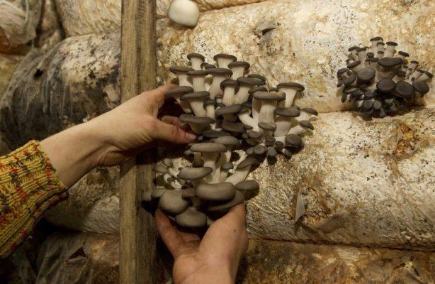 Как выращивают грибы в Беларуси