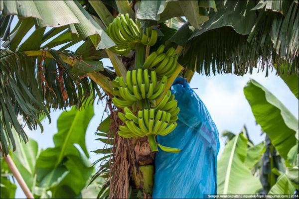 Как выращивают бананы в Китае