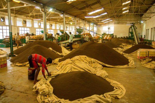 Как выращивают чай в Индии