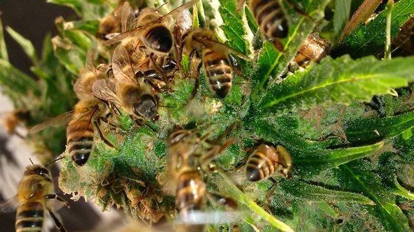 Французский пчеловод научился делать мёд из конопли