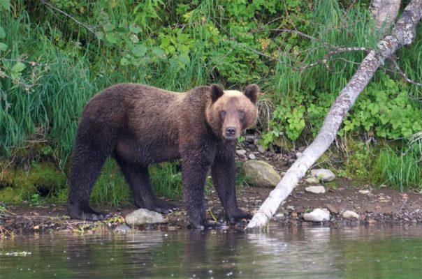 Как предохраняются от медведей на камчатской рыбалке