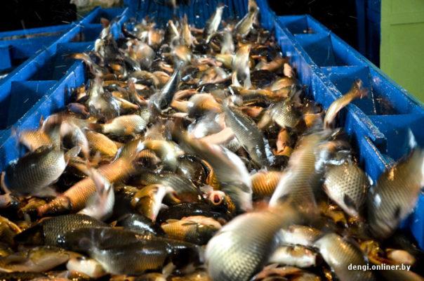 Как в Беларуси выращивают рыбу
