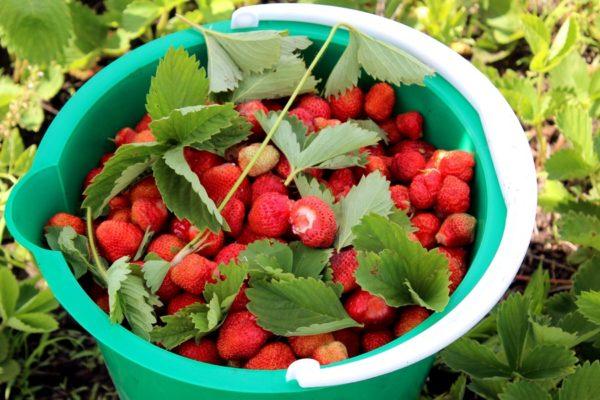 Как собирают клубнику в совхозе