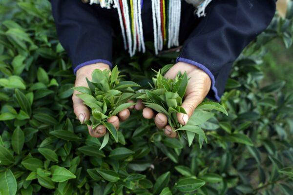 Производство чая улун в Тайланде