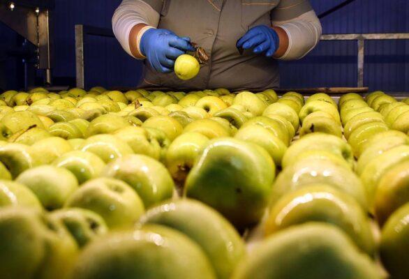 Как в Кабардино-Балкарии выращивают яблоки
