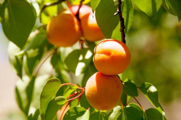 Как выращивают абрикосы в Дагестане