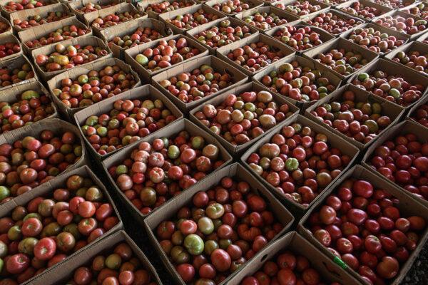 Как выращивают помидоры в Кабардино-Балкарии