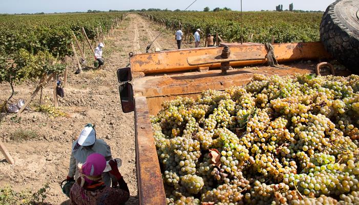 Как выращивают виноград в Дагестане