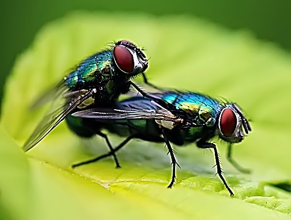 Как и зачем разводят мух