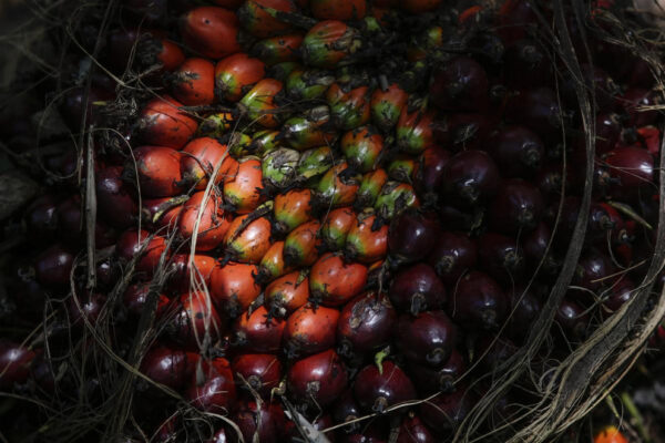 Как выращивают пальмы для производства пальмового масла
